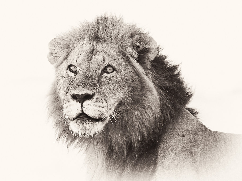 Lion, Panthera leo