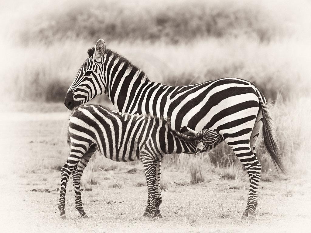 Plains Zebra, Equus burchelli