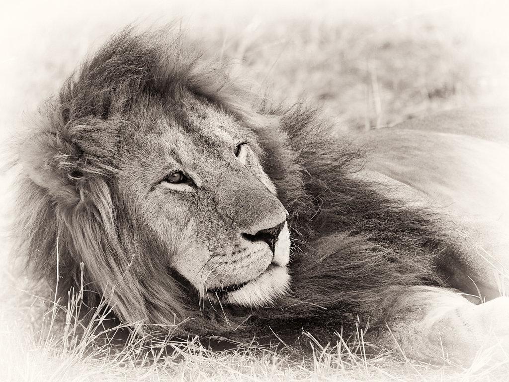 Lion, Panthera leo
