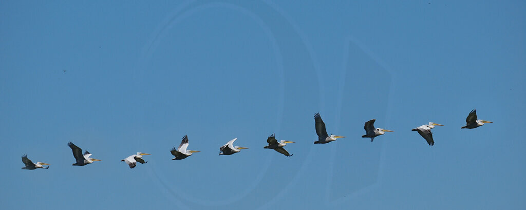 Pelican Flight Study