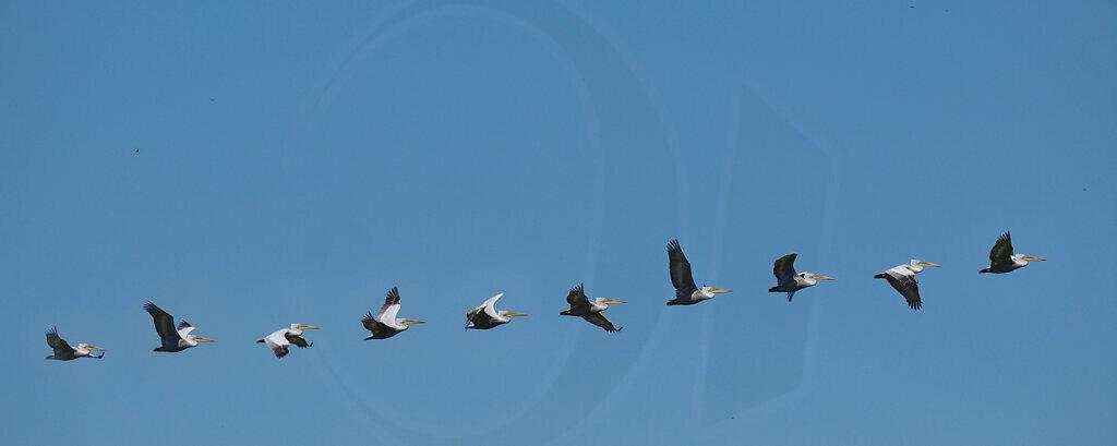 Pelican Flight Study