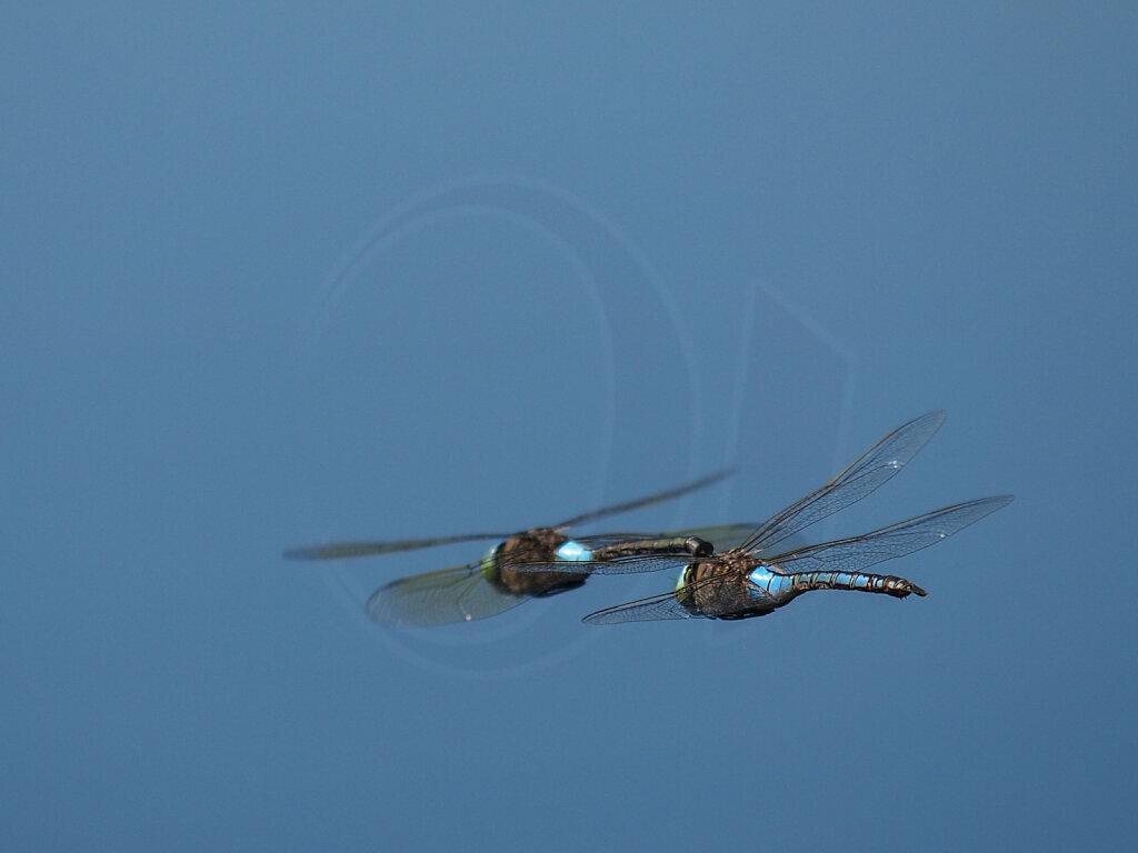 Dragon Flies