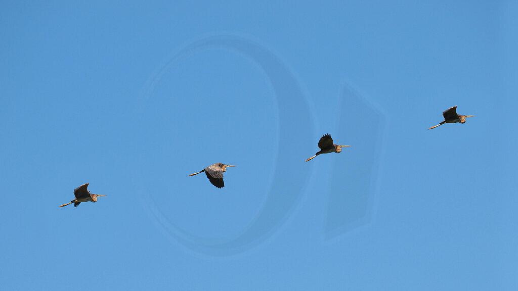 Heron Flight Study