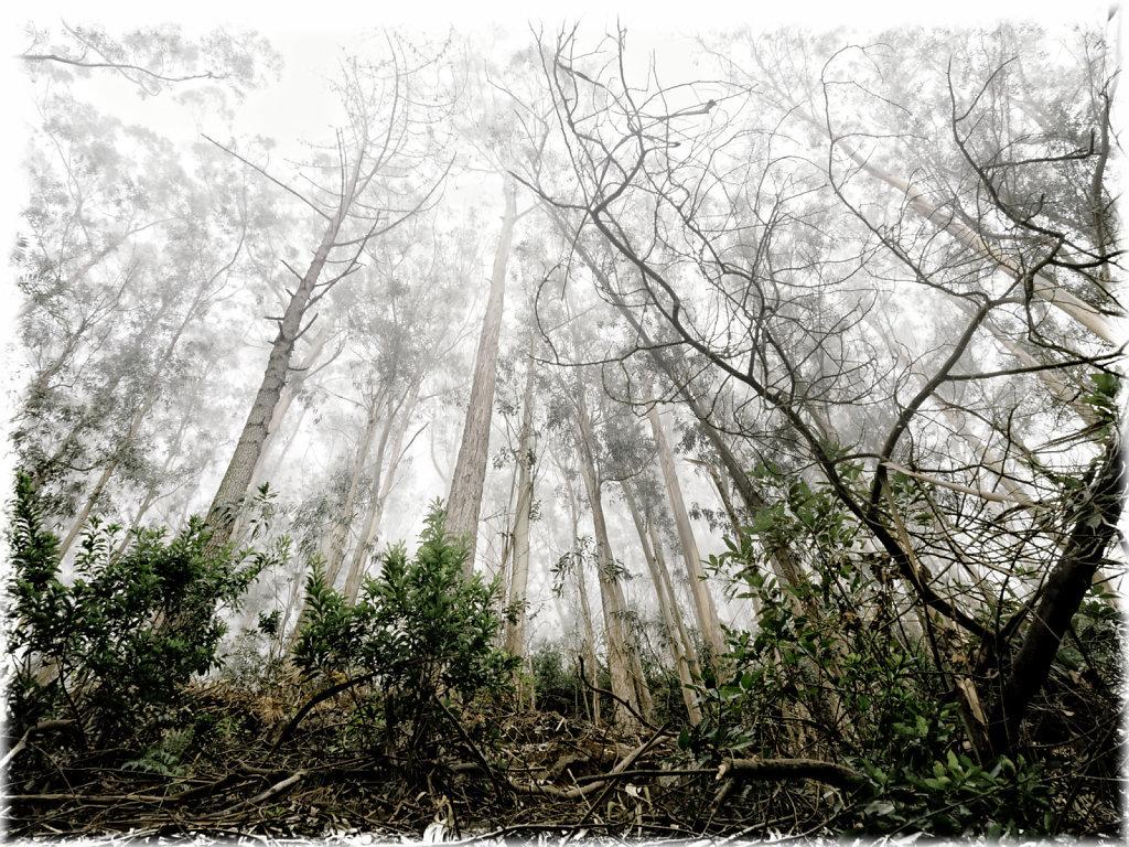 Foggy Eukalyptus