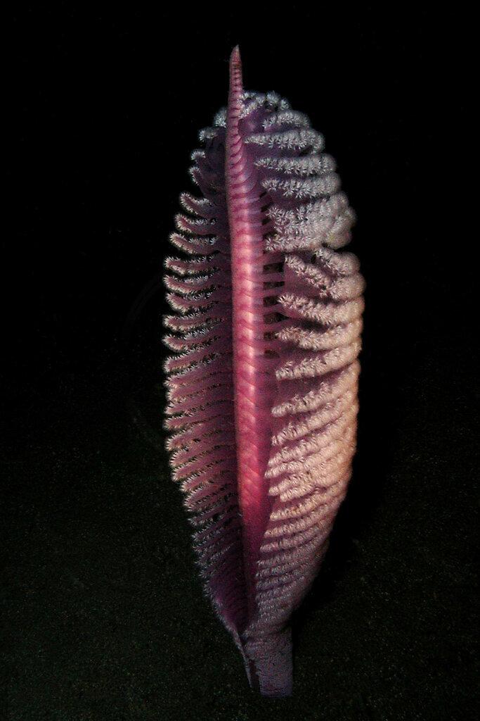 Pink Sea Pen