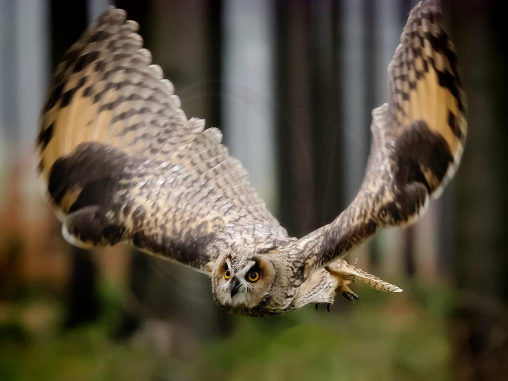 Long-eared Owl in flight