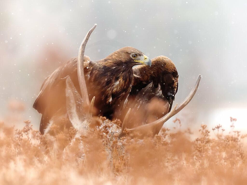 Golden Eagle on Carcass