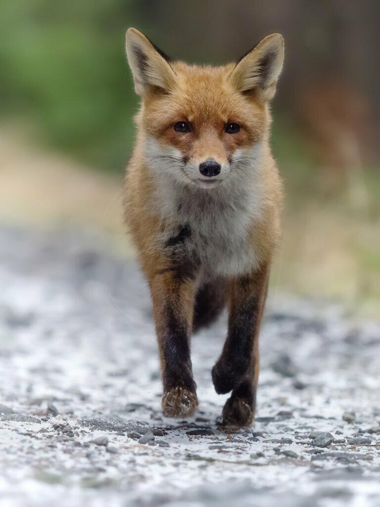 Fox on the run II