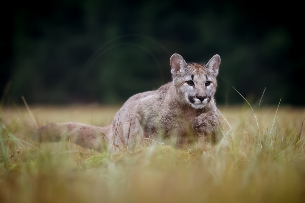 Mountain Lion in moss and grass