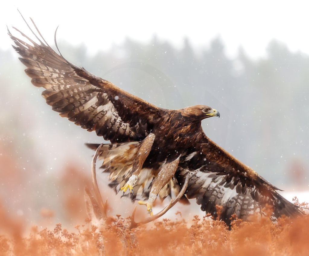 Golden Eagle taking off