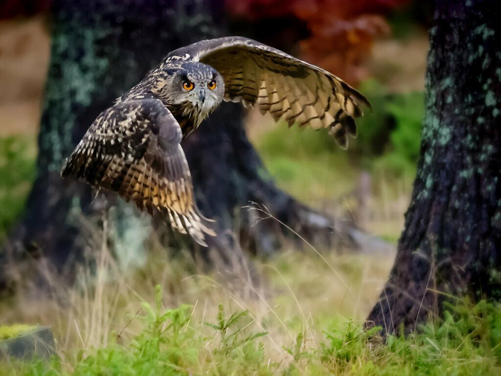 Flying Eagle Owl