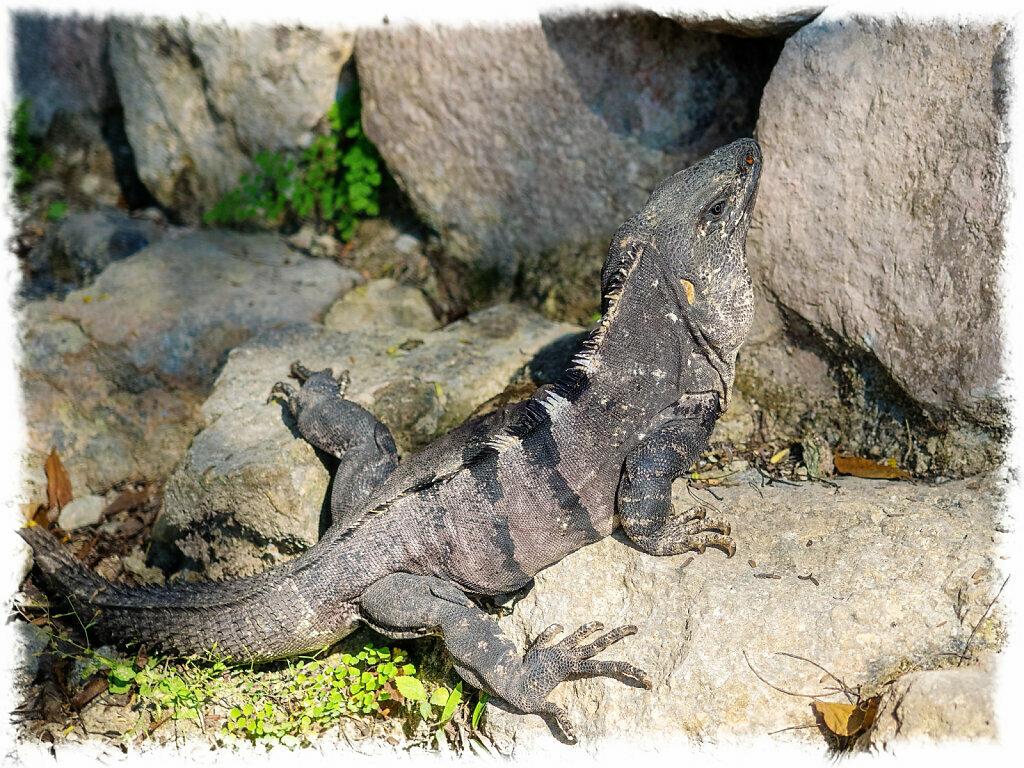 Spyinitail Iguana