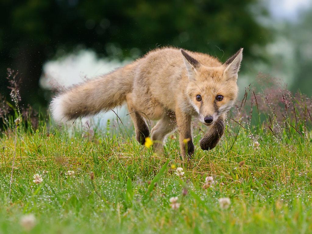 Fox in wet grass