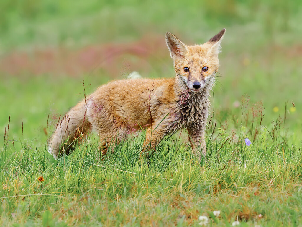 Little wet Fox