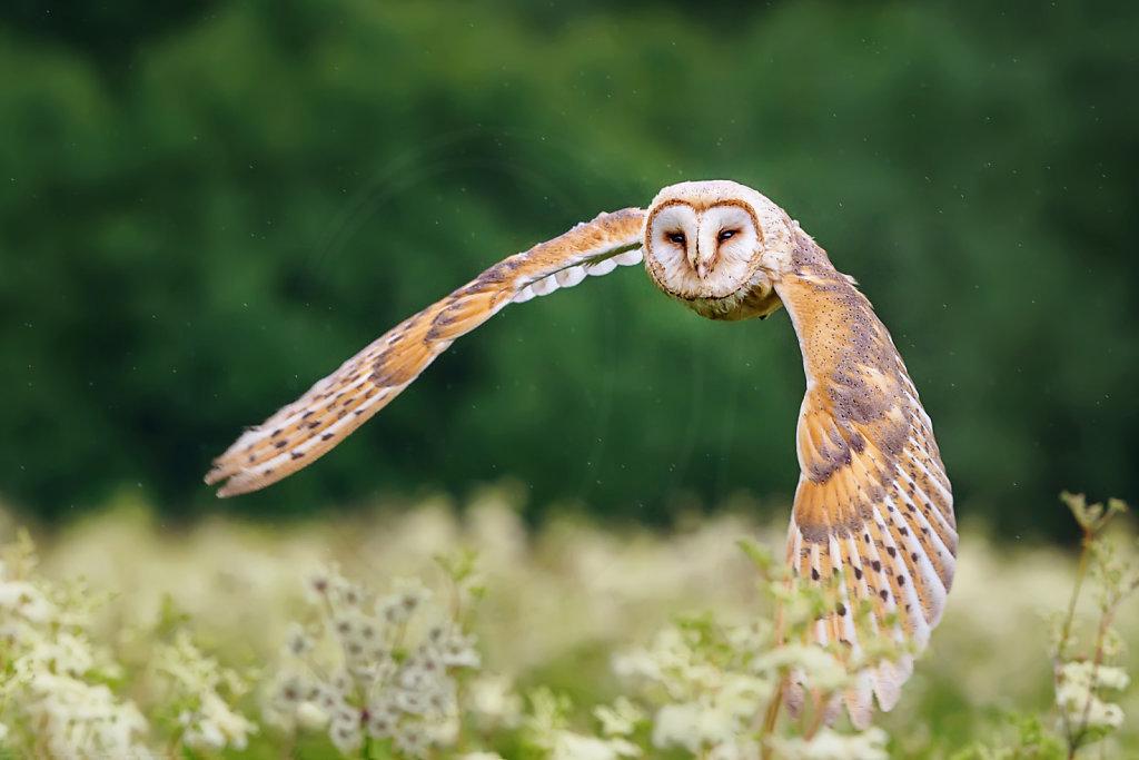 Barn Owl in flight II